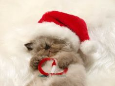 Sleeping Himalayan kitten wearing a Santa hat 2 Card by prophoto Kittens Cutest, Cats And Kittens, Cute Cats, Funny Cats, Kitty Cats, Christmas Kitten, Christmas Animals, Christmas Holiday, Funny Christmas