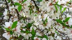 Cherry blossom and wind with petals fall. Beautiful spring flowering and nature landscape. #spring #footage