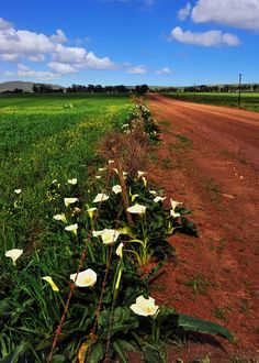 Wild Arum lilies, Western Cape, South Africa by Rosemary Walden