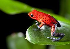 Comme beaucoup d'autres animaux, les grenouilles sont réparties en sous-espèces, chacune disposant de caractéristiques propres, mais aussi d'une apparence distincte. Certaines, même, revêtent des couleurs chatoyantes qui les rendent magnifiques. Le DGS...