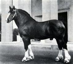 Жеребец Легион владимирской породы, рожд. 1948 г., от Ландыша и Лилии. Чемпион породы