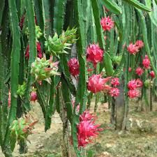 Até há pouco essas frutíferas eram desconhecidas e, recentemente, representam um crescente nicho no mercado de frutas exóticas. Atualmente, no Brasil essas frutas vêm sendo procuradas, não só pelo exotismo de sua aparência e sabor, como também pelos benefícios à saúde.