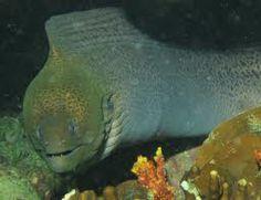 Veel gezien in Egypte, deze Giant Moray is zo'n 2,5 meter lang.