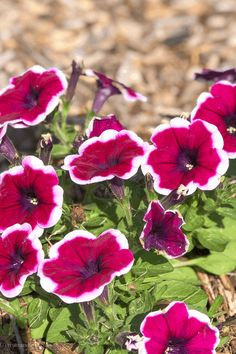 Petunias are some of the easiest flowers to grow and come in a huge variety of colors #gardening #flowers #petunias #easyflowerstogrow