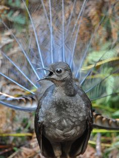 In bushland along the east coast of Australia, male lyrebirds are putting on a song and dance show all in the name of love. Take a closer look at the Lyrebird species with ABC Science: listen to a recording of their call, read about their talent for imitation and view the splendour of their ornate plumage.