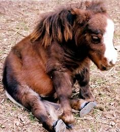 miniature horse sitting
