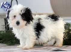 Keystone Puppies has a puppy finder feature setting you up to find and buy a dog perfect for your home. Havanese Puppies For Sale, Havanese Dogs, Teacup Puppies, Cute Dogs And Puppies, Baby Puppies, Baby Dogs, I Love Dogs, Doggies, Biewer Yorkie