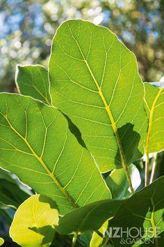 Native New Zealand Puka plant - tropical garden ideas