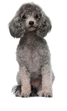 Dog Breed Questionnaire Selector