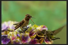 Hummingbird on a hydrangea squawking at another hummer