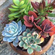 Colorful Succulents, Succulents Garden, Succulent Planters, Replanting Succulents, Flowering Succulents, Succulent Centerpieces, Succulent Arrangements, Flower Arrangement, Succulent Potting Mix
