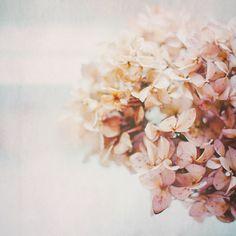Hortensia photographie florale Ethereal Pastel rose par hellotwiggs, $15.00