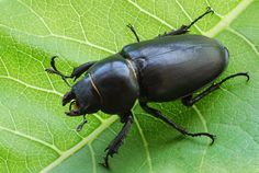 black beetle - Google Search