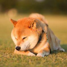 """柴犬, Shiba Inu. <3 ~lisa. """"Okay go home"""" ...im so tired today... but it was nice day, Thanks :):)"""