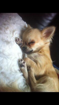 Chihuahua sleeping - how precious!