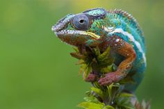 Colorful Nature: Panther Chameleon