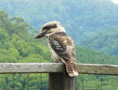 Kookaburra Flora And Fauna, Bald Eagle, Bird, Nature, Animals, Inspiration, Color, Biblical Inspiration, Naturaleza