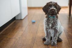 My griffon korthals puppy ;-)