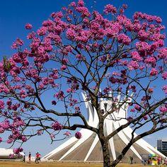 IPÊ roxo (Catedral de Brasilia) - Brasilia - Brasil