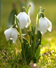 As the chill of winter subsides, this early bloomer will quickly spread like a blanket to cover the garden floor. Plant in the fall and enjoy the surprise of the bell-like blossoms come spring. Note: This item will ship the week of Sept. 29, 2014