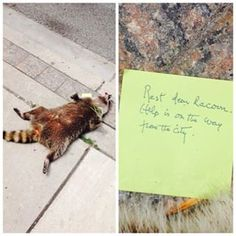 But around noon the raccoon was still there. And someone put a note next to it. Writing Images, Racoon, Cheer Up, Life Lessons, Toronto, Forget, Buzzfeed News, Memories, Create