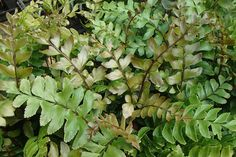Didymochlaena trunculata, or Mahogany Fern is a vigorous tender evergreen fern, with distinctly cut fronds - these have a bronze tint when young, turning a deep lustrous green. Coming from tropical parts of the New and Old World, it makes an ideal specimen plant in a warm conservatory.