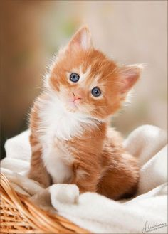 A beautiful basket, and a suiting blanket (color) is all that's needed for your gorgeous kitten photos in your own home!