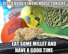 disco budgie in the house tonight eat some millet and have  - disco