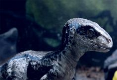 Baby Blue the Velociraptor
