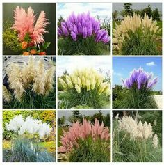 Pampas grass in various colors. Love the purples.