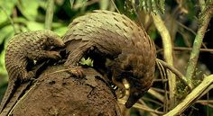 Pangolin, with baby