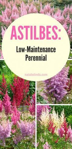 Learn how to grow astilbes in your garden! They're a low-maintenance perenni… Learn how to grow astilbes in your garden! They're a low-maintenance perennial which means you can plant it once and then enjoy them for several years to come! Low Maintenance Landscaping, Landscaping Plants, Front Yard Landscaping, Landscaping Ideas, Low Maintenance Garden Design, Fence Plants, Luxury Landscaping, Landscaping Software, Outdoor Plants