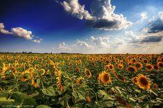 Hungarian Sunflower Field