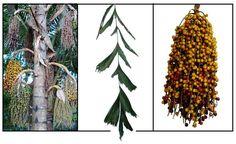 Pugahan, caryota mitis, bato:: Philippine Medicinal Herbs / StuartXchange