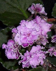 African Violet Wrangler's High Sierra Pair of Leaves | eBay