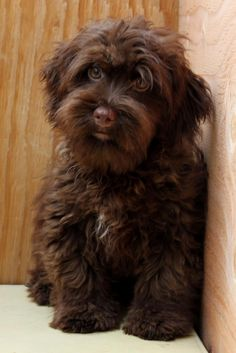 Havanese Teddy Bears - JAMES - RARE HERSHEY DARK CHOCOLATE!