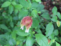 The old-fashioned shrimp plant (Justicia brandegeeana) is one of the unusual plants in Patti McGee's garden.