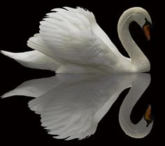 Now anybody can be an artist with DIY diamond painting kit and create stunning masterpieces like our The White Swan Diamond Painting Kit. All kits includes everything you need to create a beautiful work of art achieving the subtle tones Beautiful Swan, Beautiful Birds, Animals Beautiful, Simply Beautiful, Vida Animal, Mundo Animal, Animals And Pets, Cute Animals, Flora Und Fauna