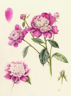 Peony. Wendy Hollender. Botanical card, illustration, nature, flowers