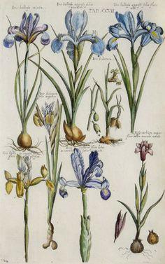 The Antiquarium - Antique Print & Map Gallery - Michael Valentini - Iris bulbosa - Hand-colored copperplate engraving