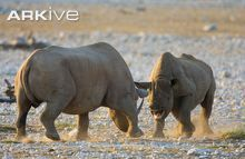 Female and male black rhinoceros fighting
