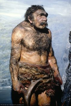 The Neanderthals or Neandertals are an extinct species of human in the genus Homo, possibly a subspecies of Homo sapiens. They are very closely related to modern humans, differing in DNA by only 0.3%, which however is twice that of the widest DNA gap found among contemporary humans. Old lifelike reconstruction of a Neanderthal man.