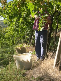 Harvest by of Soave Classico grapes for wine production Italian wine Italian style