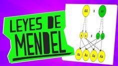 Las leyes de Mendel - Biología - Educatina