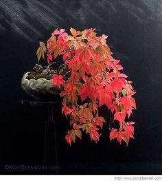 parthenocissus quinquefolia, parra virgen, enamorada del muro, de Harry Harrington
