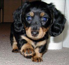daschund puppies - Google Search