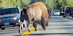 American Bison owns the road, Yellowstone National Park - Photo by David Gomm