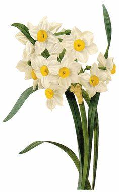 La Bande des Faineantes: Vintage Printable - Flowers- Daffodils