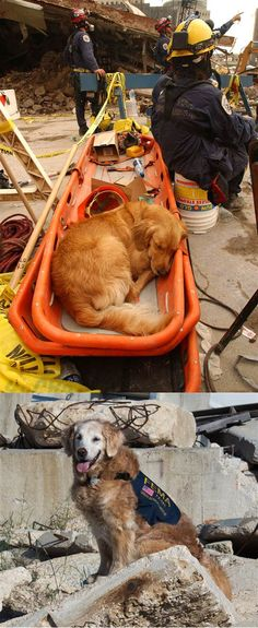 This is Bretagne. She is the last known living 9/11 search dog. Top photo is 2001, bottom is 2014, she has yet to retire - Imgur