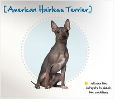 Did you know that in a hairless female pup was born to a Rat Terrier, and she became the foremother of all American Hairless Terriers? Read more about this breed by visiting Petplan pet insurance's Condition Checker! Beautiful Dog Breeds, Beautiful Dogs, All Dogs, Dogs And Puppies, Hairless Rat, Rat Terriers, Dog Friends, Dog Pictures, Doggies